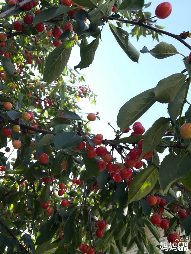 自己家院里的樱桃树熟了
