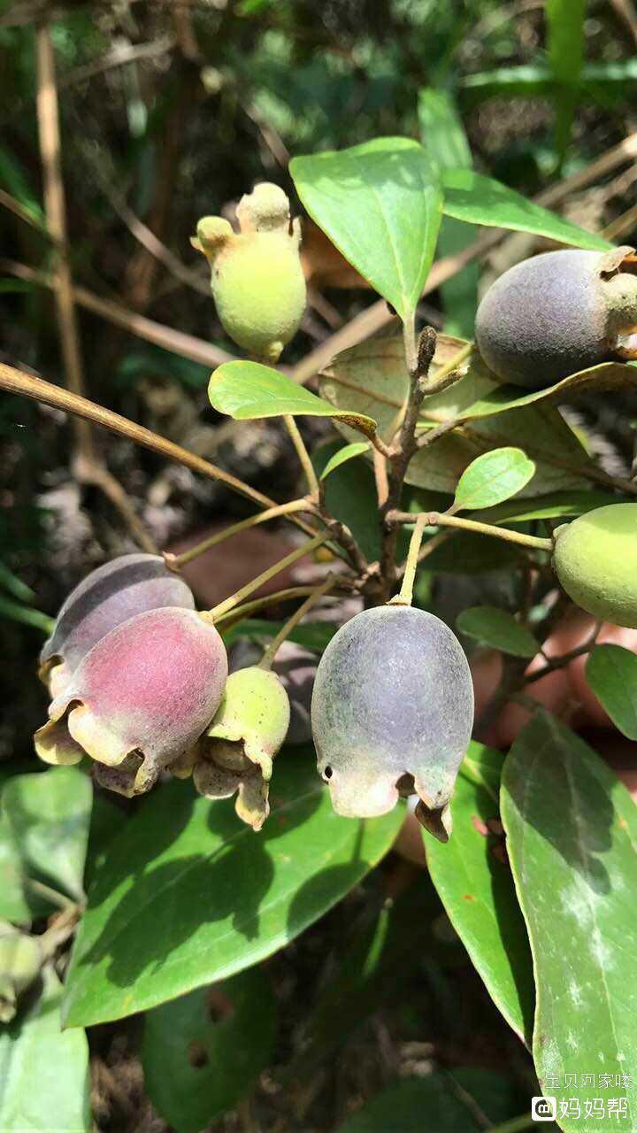 吐鲁番的葡萄熟了简谱