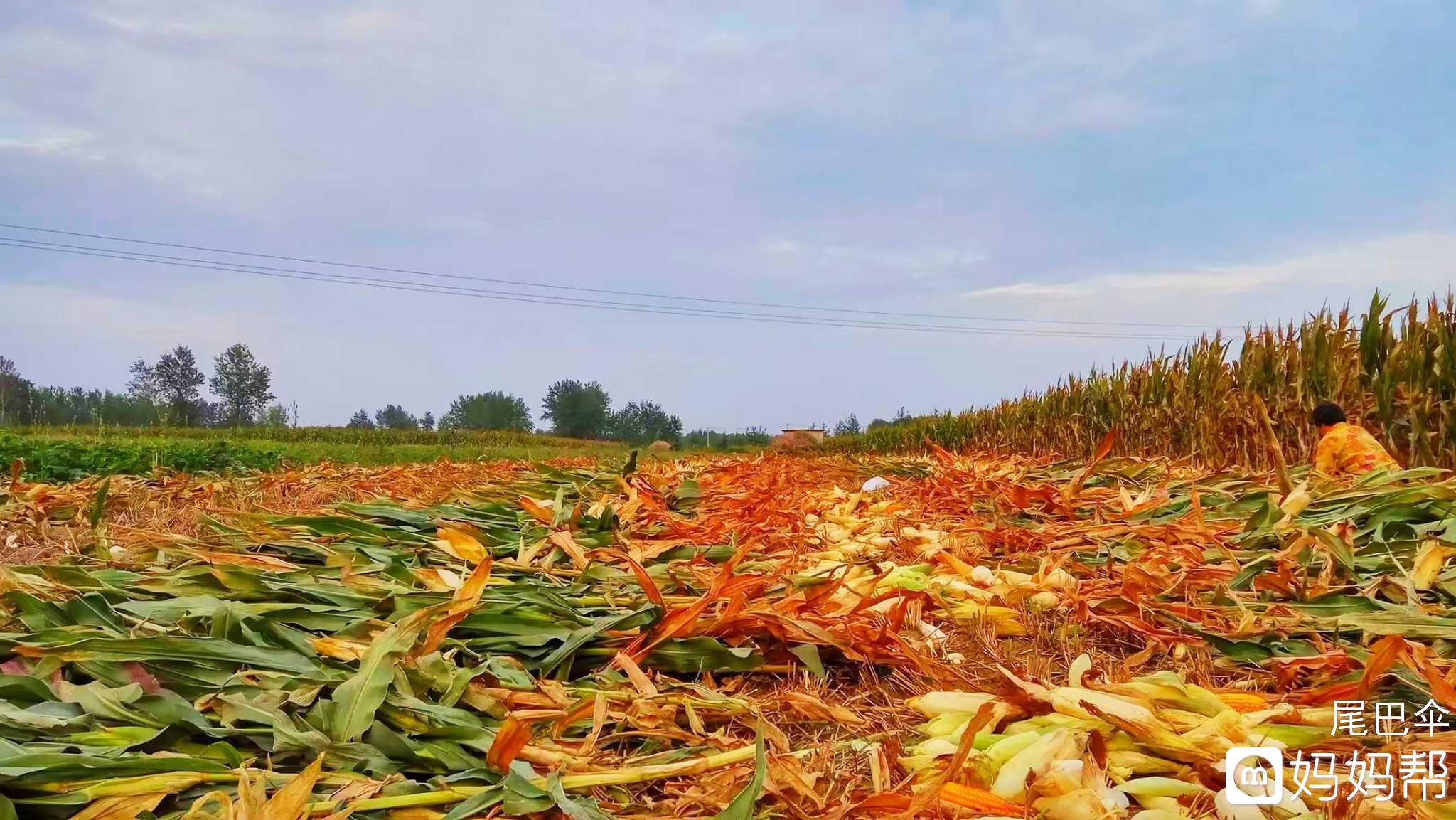 【秋天,收获季】+秋天来了,该收玉米了!