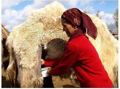 在非洲,人们经常建议身体虚弱的人饮用骆驼奶,以增强身体的抵抗力.