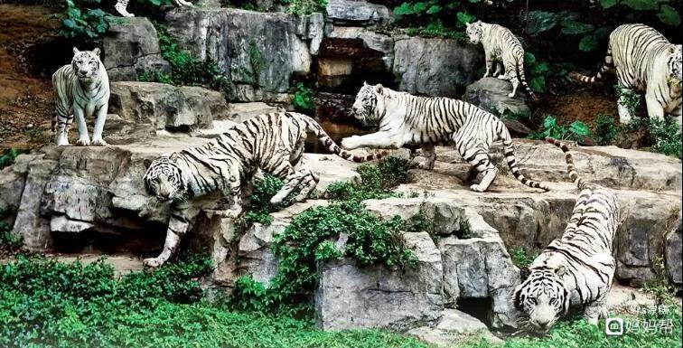 白虎是长隆野生动物园的镇园之宝,拥有150只白虎的长隆是世界上白虎